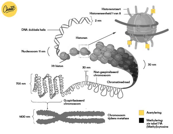 DNA schematisch