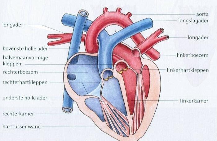 Het hart schematisch